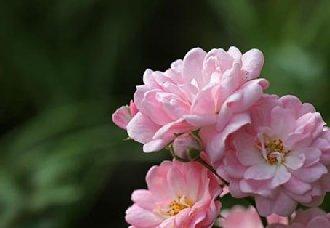 蔷薇花得炭疽病怎么办?蔷薇花得炭疽病的防治方法