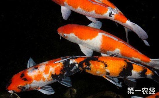 鲤鱼怎么繁殖?鲤鱼的催产和孵化技术
