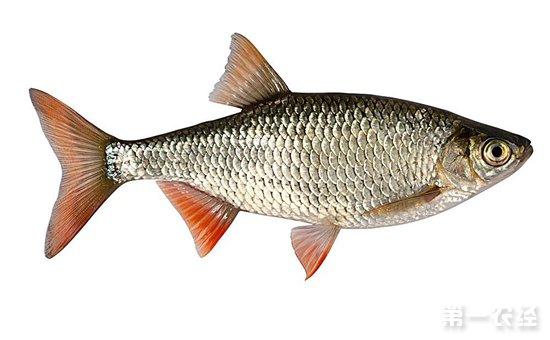 夏花鱼怎么培育,夏花鱼苗头的培育技术