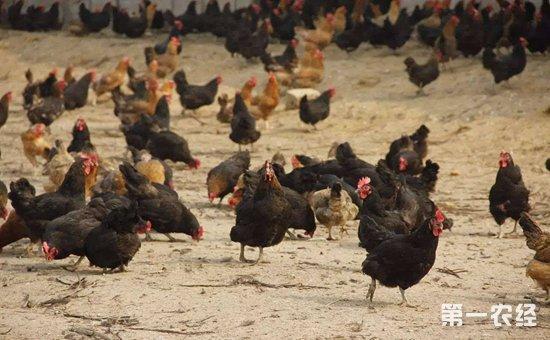 养鸡行业上半年销量可观 预收入业绩喜人