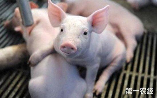 仔猪断奶时易发生应激反应 注意这几个方面防止仔猪生病