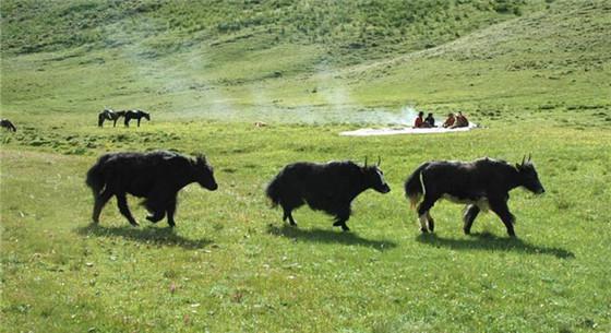 青海省预计2025年将牦牛产值由70亿提升到90亿