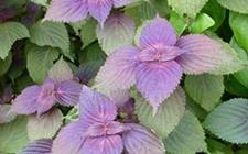 <b>紫苏常见的病虫害有哪些,又该如何防治?</b>