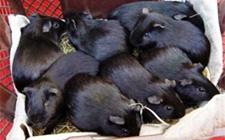 <b>黑豚的常见疾病有这五种!以及防治措施介绍</b>
