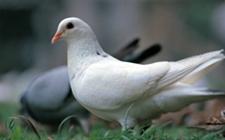<b>鸽子为什么会出现歪脖的现象?要怎么解决?</b>