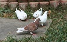 鸽子的饲料配方遵循什么原则?鸽子饲料配方参考分享