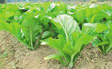 芥菜的种植时间是什么时候?种植方法有哪些?