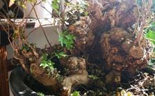 黄荆盆景从下往上掉叶子是怎么回事?黄荆掉叶子原因分析