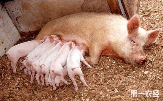 母猪怀孕前和怀孕后要注意什么?母猪妊娠期免疫注意事项