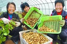 """河北张北县""""微型薯""""喜获丰收 坝上农民收入实现""""三连增"""""""