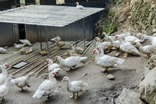 如何预防鸭子生病?鸭子疾病防治措施