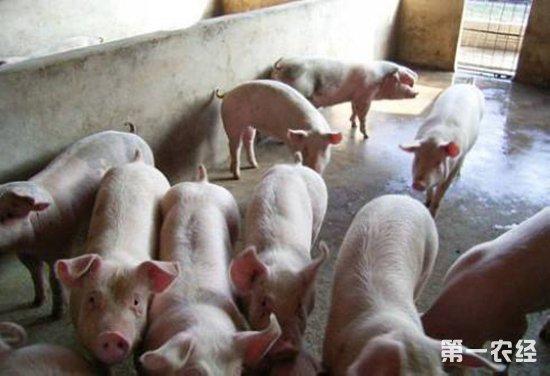 秋天怎么养猪?秋季养猪的注意事项