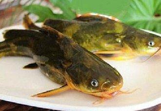 黄颡鱼要怎么养?黄颡鱼的养殖技术