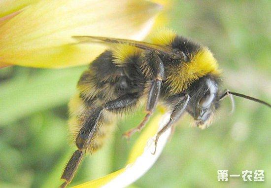 黄蜂要怎么养?黄蜂的养殖技术