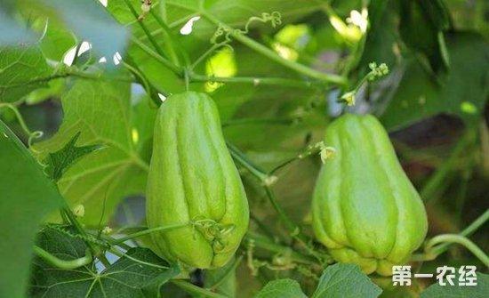 瓜类蔬菜蔓枯病的症状及防治措施