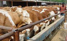 <b>鲁西黄牛养殖时有哪些常见病?要如何防治?</b>