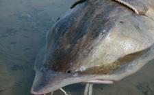 鳇鱼是什么鱼?要如何养殖?鳇鱼养殖技术分享