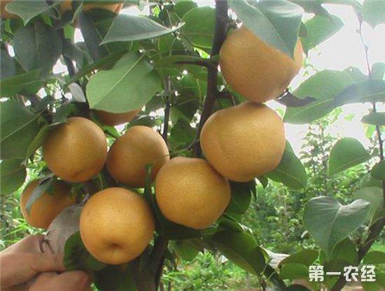 """陕州""""黄梨姑娘""""宁海峡带领乡邻种植黄梨致富"""