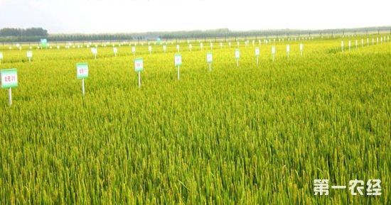 """""""放心米""""市场供不应求,有机水稻帮致富"""