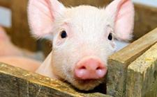 多地非洲猪瘟疫情发生后,价格出现快速下跌现象