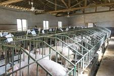 养猪场规模化程度提高,专家表示市场机遇与挑战并存