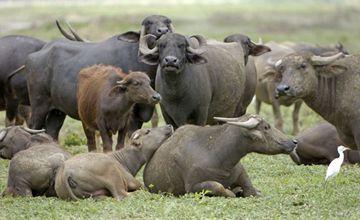 牛生产完瘫痪是怎么回事?要怎么防治?