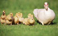 鸭子放养要怎么养?有哪些注意事项?