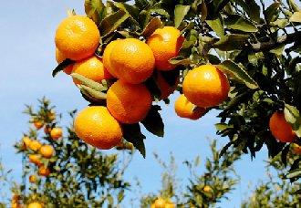 柑橘有怎么疏果?柑橘的疏果技术
