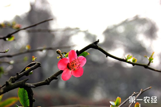 海棠要怎么种植?海棠的种植技术