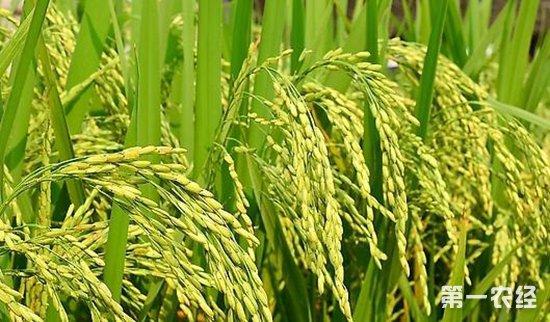 全国超级稻累计推广应用面积达13.5亿亩