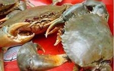 锯缘青蟹的养殖需要什么?锯缘青蟹养殖技术介绍