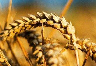 小麦要怎么除草?麦田的除草技术
