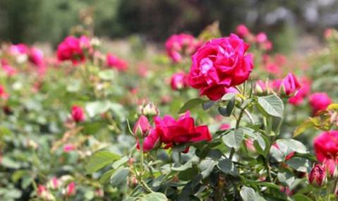 玫瑰要怎么施肥?玫瑰的施肥技术