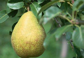 梨树营养缺素症的症状以及防治措施