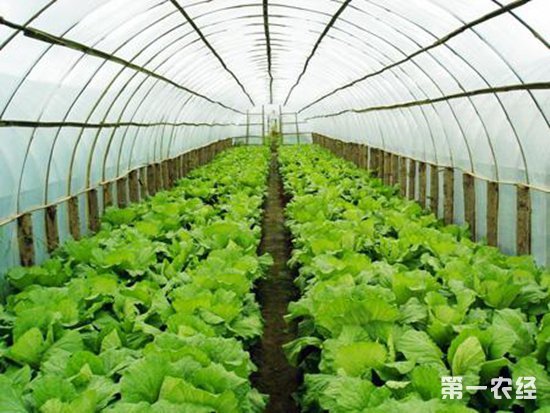 大棚蔬菜病虫害防治技术