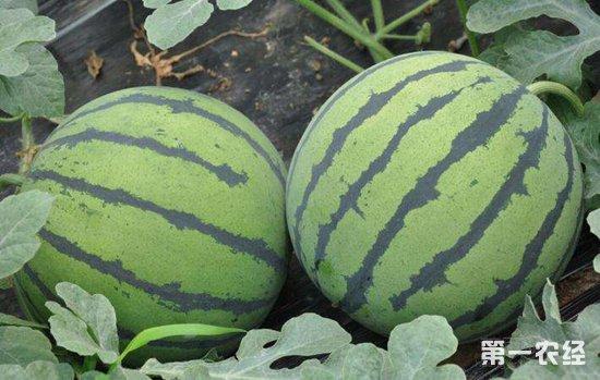 棉花地里种西瓜,整村脱贫摘帽