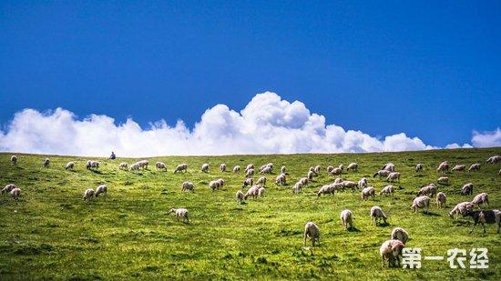 内蒙古红旗村:村民养殖牛羊增收入