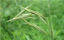 英国又发现一例抗性杂草 全球已有41种植物对草甘膦产生抗性
