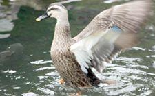 鸭子不吃东西是怎么回事?原来是这些原因导致的