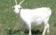 秋季养殖山羊需要注意什么?秋季山羊养殖管理要点介绍