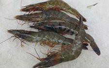 请虾越冬时期要注意些什么?青虾越冬养殖技术分享
