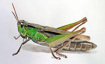 蚂蚱该怎么去养殖?蚂蚱养殖技术分享