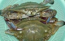 秋后河蟹养殖需要注意什么?秋后养殖河蟹注意事项介绍