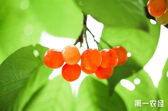 樱桃果蝇的诱发因素以及综合防控措施