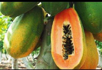 <b>木瓜要怎么种植?木瓜的种植技术</b>