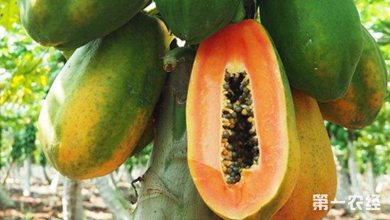木瓜要怎么种植?木瓜的种植技术
