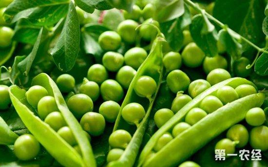 怎么提高豌豆产量?豌豆的高产种植技术