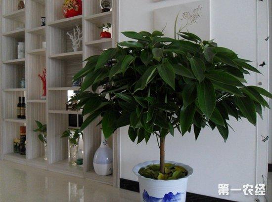 平安树怎么种?平安树的种植技术
