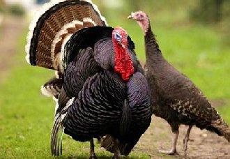 鲁曼夫妇:带领300多户村民养火鸡实现脱贫致富