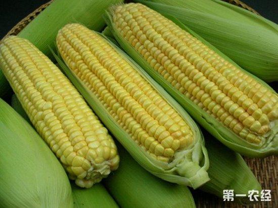 内蒙古:甜玉米成了他们摆脱贫困的甜蜜果实